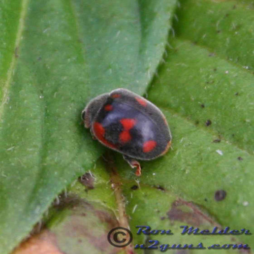 Vedalie Lady Beetle